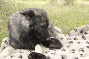 altdeutsche-schaferhunde-434