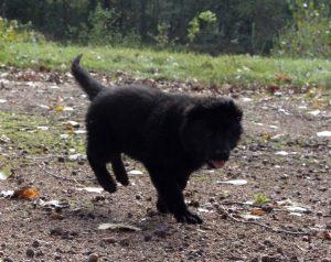 berger-allemand-poil-long-noir-2jpg