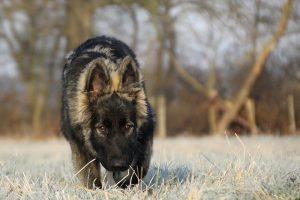 perle-von-camelot-altdeutsche-schaferhunde