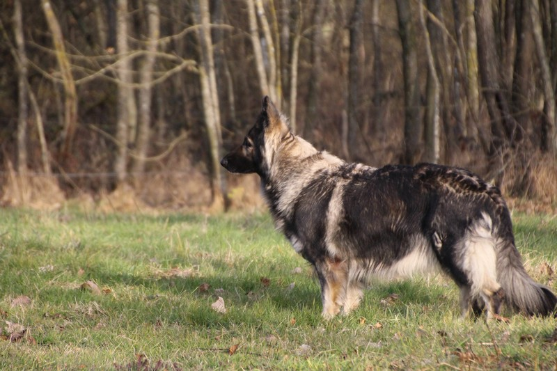 img_1201-elevage-de-berger-allemand-poil-long
