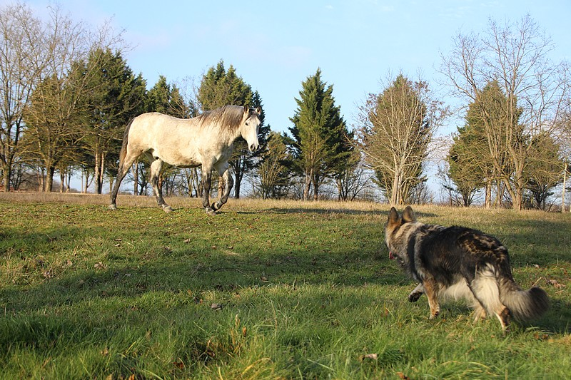 img_1276-elevage-de-berger-allemand-poil-long
