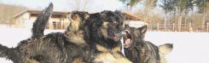 IMG_2726comme-chiens-et-loups