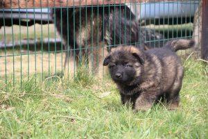 altdeutsche schaferhund 022