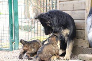 altdeutsche schaferhund 023