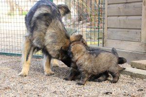 altdeutsche schaferhund 026