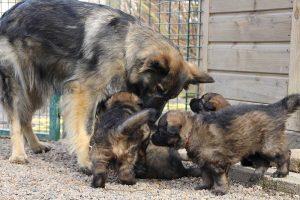 altdeutsche schaferhund 028