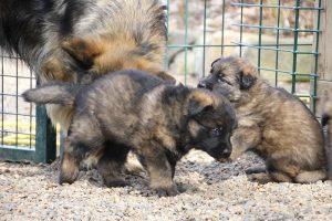 altdeutsche schaferhund 030