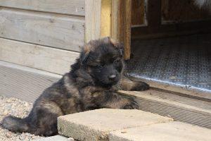 altdeutsche schaferhund 044