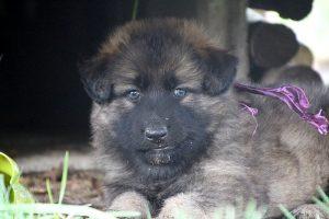 altdeutsche schaferhund 047