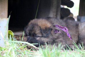altdeutsche schaferhund 048