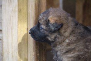 altdeutsche schaferhund 051