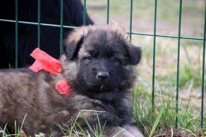 altdeutsche schaferhund 052