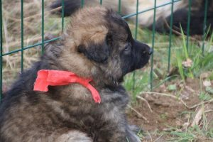 altdeutsche schaferhund 055