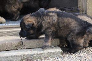 altdeutsche schaferhund 058
