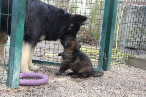 altdeutsche schaferhund 063