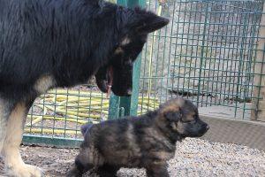 altdeutsche schaferhund 066