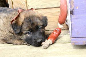 altdeutsche schaferhund 079