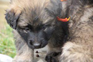altdeutsche schaferhund 091