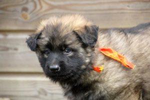 altdeutsche schaferhund 097