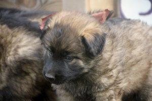 altdeutsche schaferhund 099