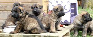 altdeutsche schaferhund 109bandeau