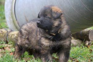 altdeutsche schaferhund 118