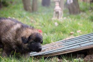altdeutsche schaferhund 132