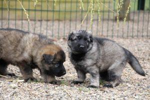 altdeutsche schaferhund 133