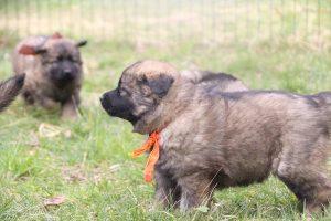 altdeutsche schaferhund 135