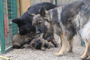 altdeutsche schaferhund 136