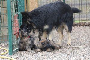 altdeutsche schaferhund 139