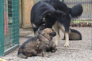 altdeutsche schaferhund 143
