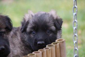 altdeutsche schaferhund 144