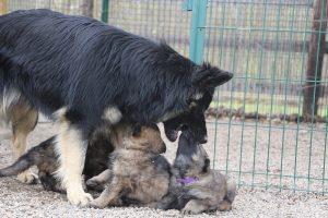 altdeutsche schaferhund 146