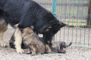 altdeutsche schaferhund 147