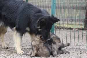 altdeutsche schaferhund 148