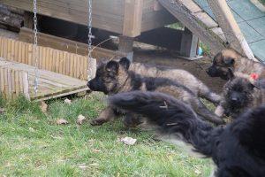 altdeutsche schaferhund 154