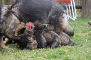 altdeutsche schaferhund 156