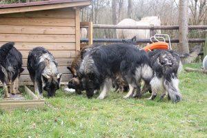 altdeutsche schaferhund 162