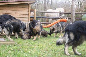 altdeutsche schaferhund 164