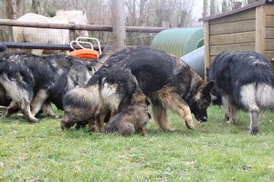 altdeutsche schaferhund 166