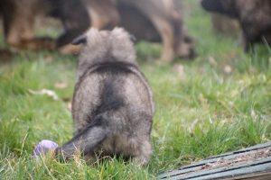 altdeutsche schaferhund 169