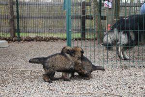 altdeutsche schaferhund 170