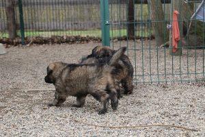 altdeutsche schaferhund 172