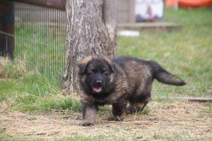 altdeutsche schaferhund 176
