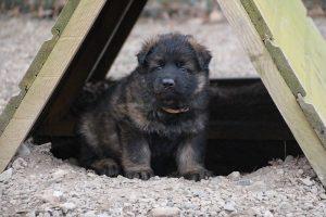 altdeutsche schaferhund 178