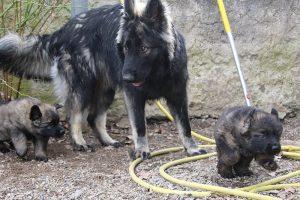 altdeutsche schaferhund 186