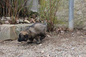 altdeutsche schaferhund 187