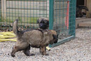 altdeutsche schaferhund 192