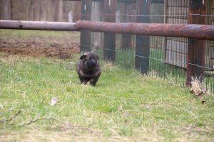 altdeutsche schaferhund 193